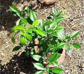 Yuzu Plant